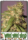 Semillas del Skunk Red Hair cannabis